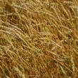 Golden wheat field — Stock Photo #1875490