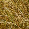 Golden wheat field — Stock Photo #1875513