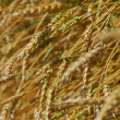 Golden wheat field — Stock Photo #1875650
