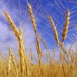 Golden wheat field — Stock Photo #1875685