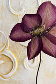 Pressed clematis flower — Stock Photo