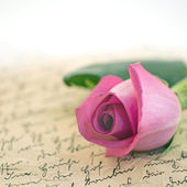 Roze roos — Stockfoto