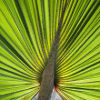 Green palm leaf — Stock Photo #1608948