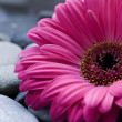 Gerbera daisy — Stock Photo