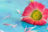 Little red daisy flower — Stock Photo
