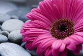 Gerbera daisy — Stock Photo