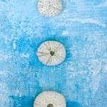 Sea urchin shells — Stock Photo