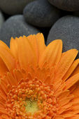 Orange gerbera daisy — Stock Photo