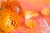 Ranunculus flower — Stock Photo