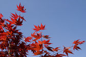 Red downy japanese maple — Stock Photo