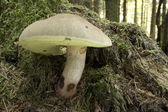 Boletus Calopus — Stock Photo