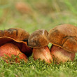 Stock Photo: Boletus Erythropus