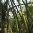 Bamboo Forest North Thailand - Stock Photo