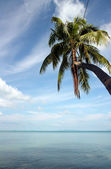 Blue Sky Coco Palm — Stock Photo