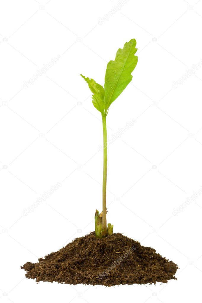 2-week oak sprout isolated on white background — Stockfoto #1520436