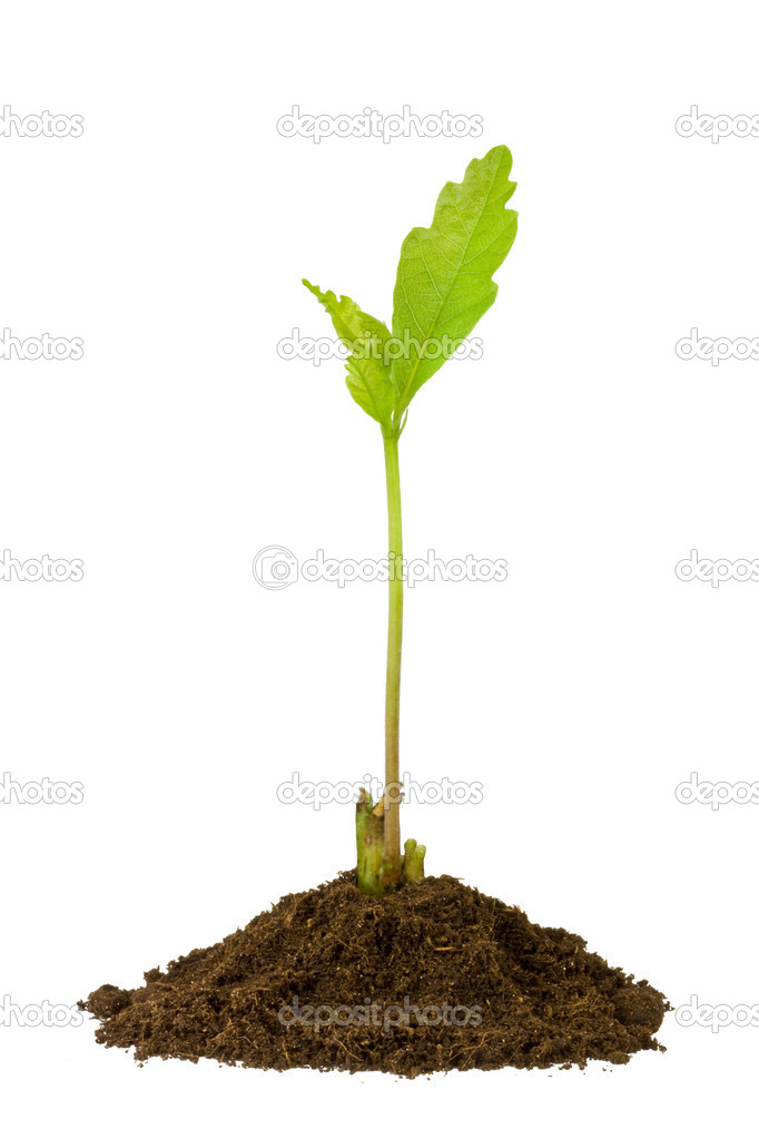 2-week oak sprout isolated on white background — Zdjęcie stockowe #1520436