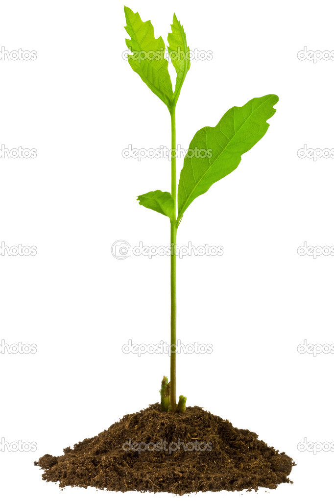 3-week seedling oak, isolated on white — Stock Photo #2291498
