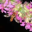 Stock Photo: Hoverfly Episyrphus balteatus