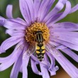 Hoverfly on aster blossom — Stock Photo