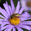 Stock Photo: Hoverfly on aster blossom