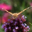 Frontal view of Painted Lady — Stock Photo