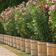 Planter with oleander — Stock Photo