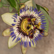 Stock Photo: Blue Passionflower
