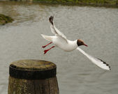 Black-headed gull takes off — Stock Photo