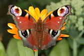 Top view of peacock butterfly Inachis Io — Stock Photo