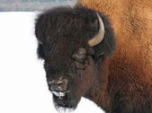 Impressive bison — Stock Photo