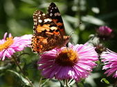 Painted Lady vanessa cardui — Stock Photo
