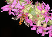 Hoverfly Episyrphus balteatus — Stock Photo