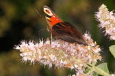 Side view of peacock butterfly — Photo
