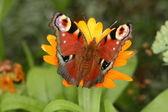 Vista superior de mariposa pavo real — Foto de Stock