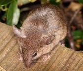 Curious little house mouse — Foto de Stock
