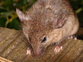 Curious little house mouse — Stockfoto