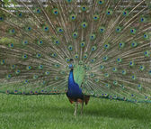 Indian peacock — Stock Photo