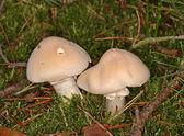 Gypsy Mushroom Rozites caperatus — Stock Photo
