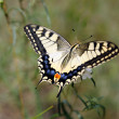Papilio machaon — Stock Photo