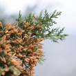 Постер, плакат: Cypress A sort of evergreen trees and bushes of family Cypress