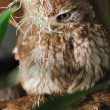 Owl - Stock Photo