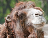 Camel — Stock Photo