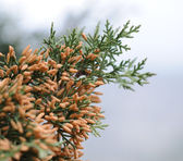 Cypress. A sort of evergreen trees and bushes of family Cypress — Stock Photo