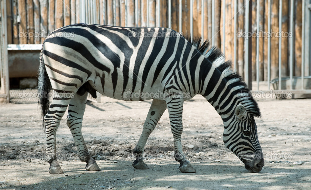 Zebra. Type of striped African animal which resembles a horse  Stock Photo #1526421