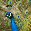 Glance peacock — Stockfoto #1532551