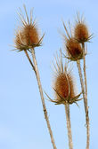 Dry prickly weed — Stock Photo
