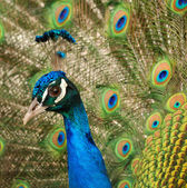 Glance peacock — Stock Photo