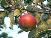 Apple_5 — Stok fotoğraf