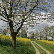 Footpath with rape field and cherry tree — Stock Photo