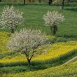 Rape field with cherry trees in Germany - Foto Stock